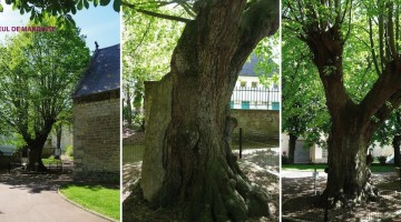 tilleul-marquise-arbre-remarquable