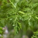 cerfeuil-legumes-fruit-saison-nord-decouverte