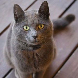 chat-chartreux-nord-decouverte