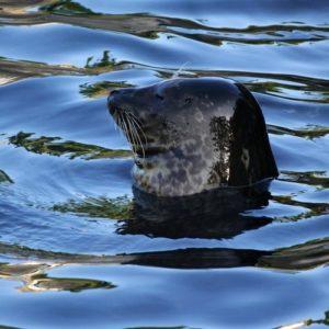 Tout le long de la Baie de Somme et de la Côte d'Opale, vous verrez une tête noire dépasser des flots. Les phoques sont bien là. Reportage Nord Découverte
