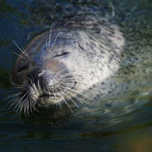 Les phoques peuvent dormir dans l'eau. De temps en temps, ils remontent à la surface, toujours endormis. reportage Nord Découvertephoque-gris-dormant-nord-decouverte