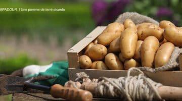 La pomme de terre Pompadour est une variété picarde sous Label Rouge