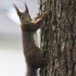photo d'un écureuil dans les bois de Maroeuil