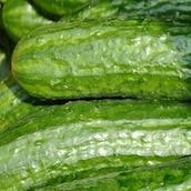 concombre-marche-saison-nord-decouverte