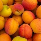 abricot-saison-nord-decouverte