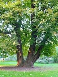 marronnier-arbre-remarquable-parc-des-dondaines-lille
