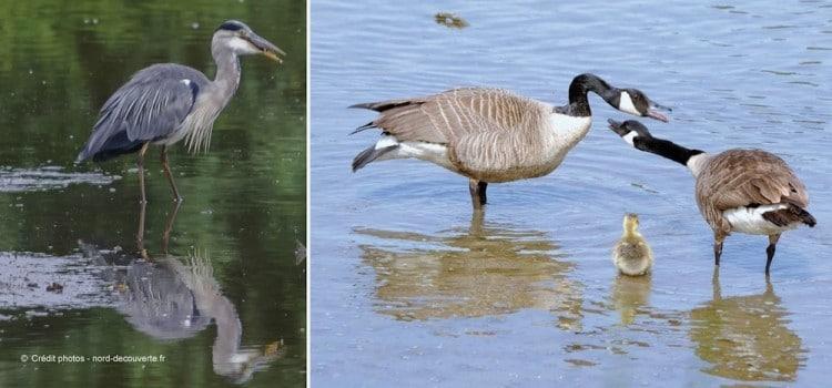 oiseaux-marais-de-la-marque