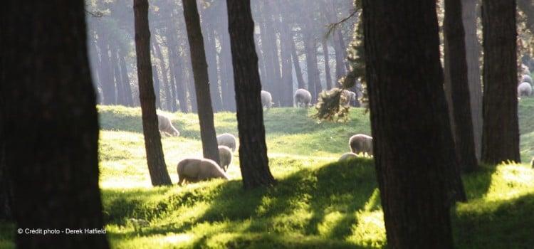 les moutons entretiennent la partie boisée du site laissée intacte en souvenir Mémorial canadien de Vimy reportage Nord Découverte