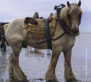 C'est le brabançon, un cheval de trait, qui est utilisé par les pêcheurs de crevettes à cheval sur la plage d'oostduinkerke à coxyde en Belgique