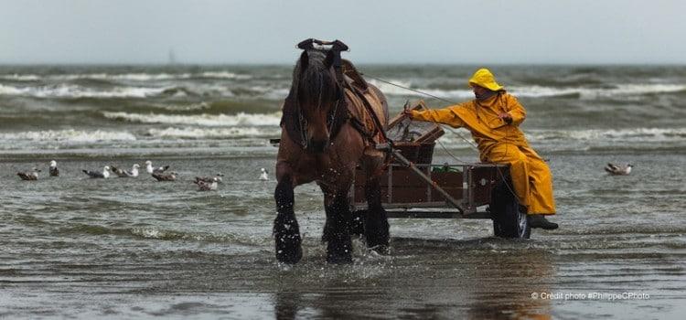 Un des pêcheurs de crevettes à cheval sortant de l'eau à coxyde oostduinkerke reportage Nord Découverte