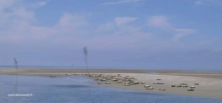 Vue d'un banc de sable en Baie de Somme avec des phoques gris. reportage Nord Découverte
