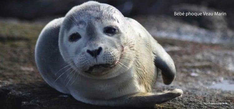 bebe-phoque-veau-marin-cayeux-sur-mer-nord-decouverte