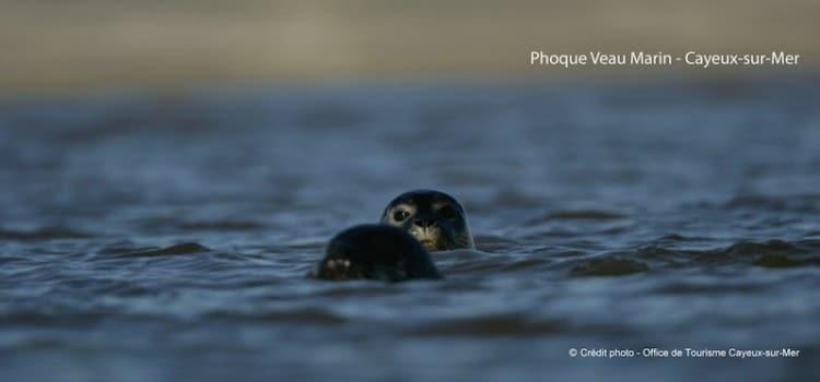 deux têtes de phoques émergeant de l'eau à Cayeux-sur-Mer