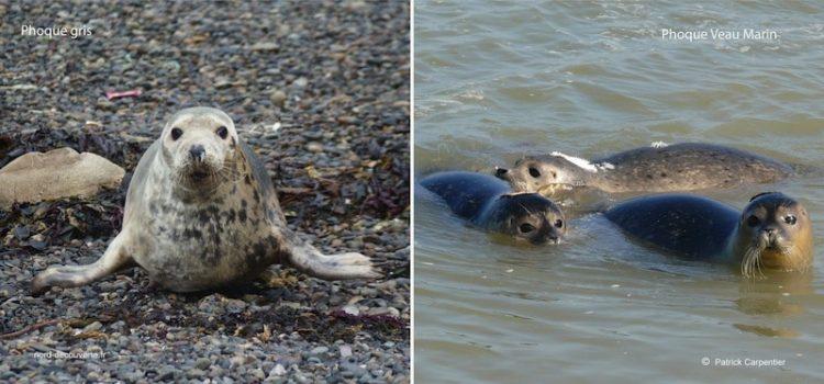 Phoques et veaux marins se ressemblent à quelques détails près. reportage Nord Découverte