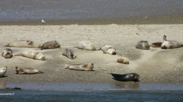 banc de sable où se reposent les phoques et veaux marins