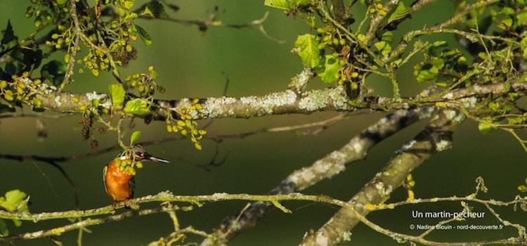 un martin pêcheur photographié dans les marais de Fretin