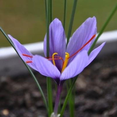 fleur-safran-des-hauts-de-france-nord-decouverte