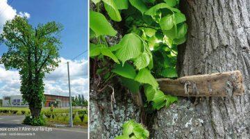arbre-curieux-arbre-aux-croix-aire-sur-la-lys-nord-decouverte