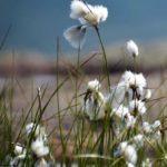 la floraison des linaigrettes sur les dunes de Berck-sur-Mer