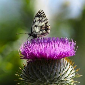 gros plan sur le papillon demi-deuil