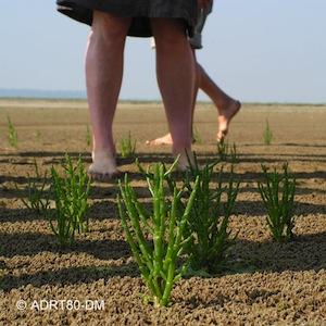gros plan sur une zone de cueillette de salicorne en Baie de Somme