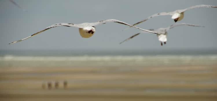 vol de mouette sur la plage de Marck