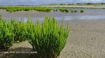 gros plan de salicorne dans l'environnement naturel d'un estuaire de baie de Somme