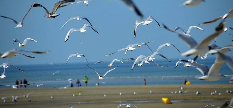 vol d'oiseaux marins à Stella-Plage
