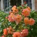 gros plan d'un rosier de l'abbaye de Valloires