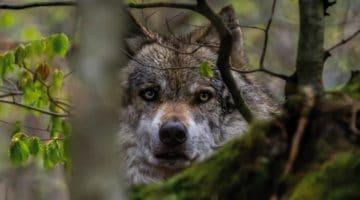loup en forêt pour illustrer le leu pindu de la Neuville