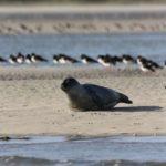 phoques gris sur un banc de sable de la pointe du Hourdel