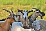 chèvrerie des Argales