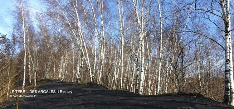 vue des bouleaux plantés sur le terril des Argales à Rieulay