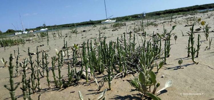 plants de salicorne dans une vasière d'une plage du Nord